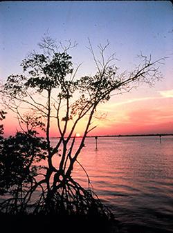 Mangrove tree above waterline